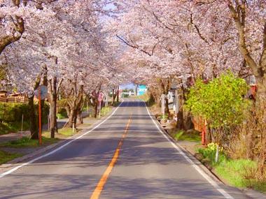 松栄の桜並木